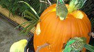Parakeet Cam